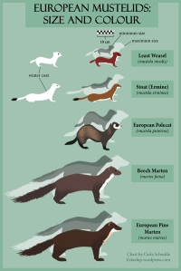 A chart which compares the sizes and coat patterns of European mustelids.