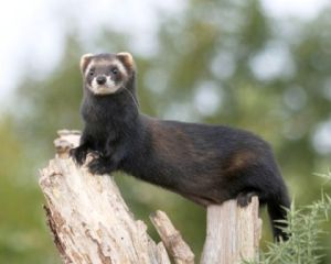 A Polecat. (Source) http://www.wsbrc.org.uk/Ktv1P8Hwd0awwjVcWnANNQ%3D%3D/Species.aspx